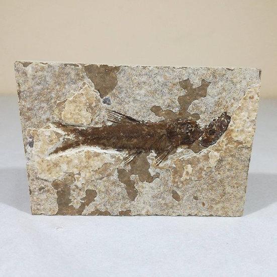 Knightia Fossil Fish