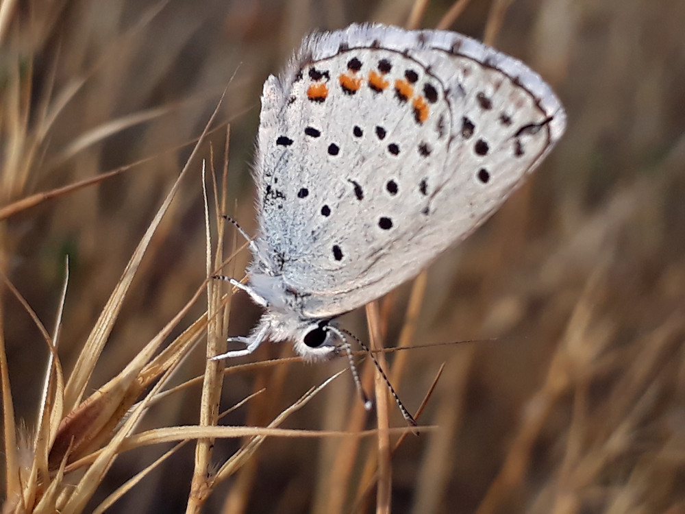 A common blue butterfly rests, wings closed on dried grass stems, giving a clear view of its wing undersides, eyes and antennae