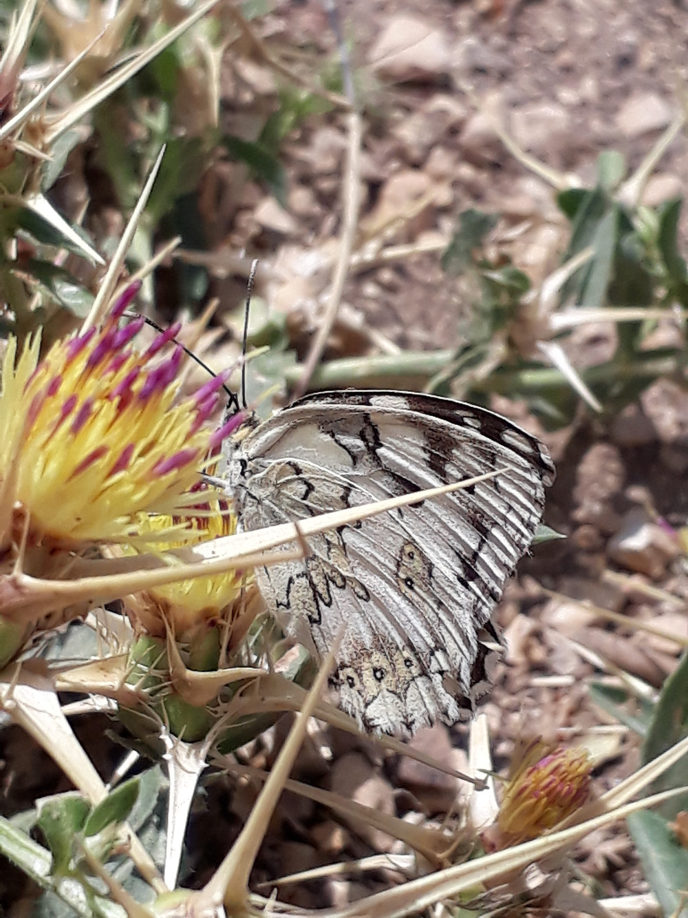 A white butterfly with neat black markings sits, wings almost completely closed nectaring from a purple-tipped yellow flower, surrounded by thorns of spiny foliage