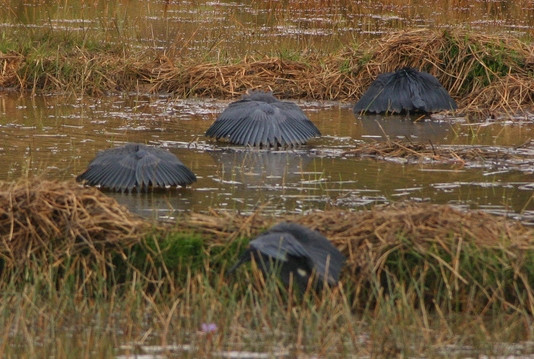 4 black-coloured birds (Black Herons) in a flooded field or paddy with their heads down, out of site and their wings arranged like an opened umbrella, casting shade downwards
