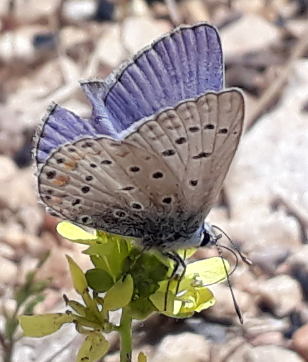Common Blue butterfly, wings slightly open sitting on a yellow flower