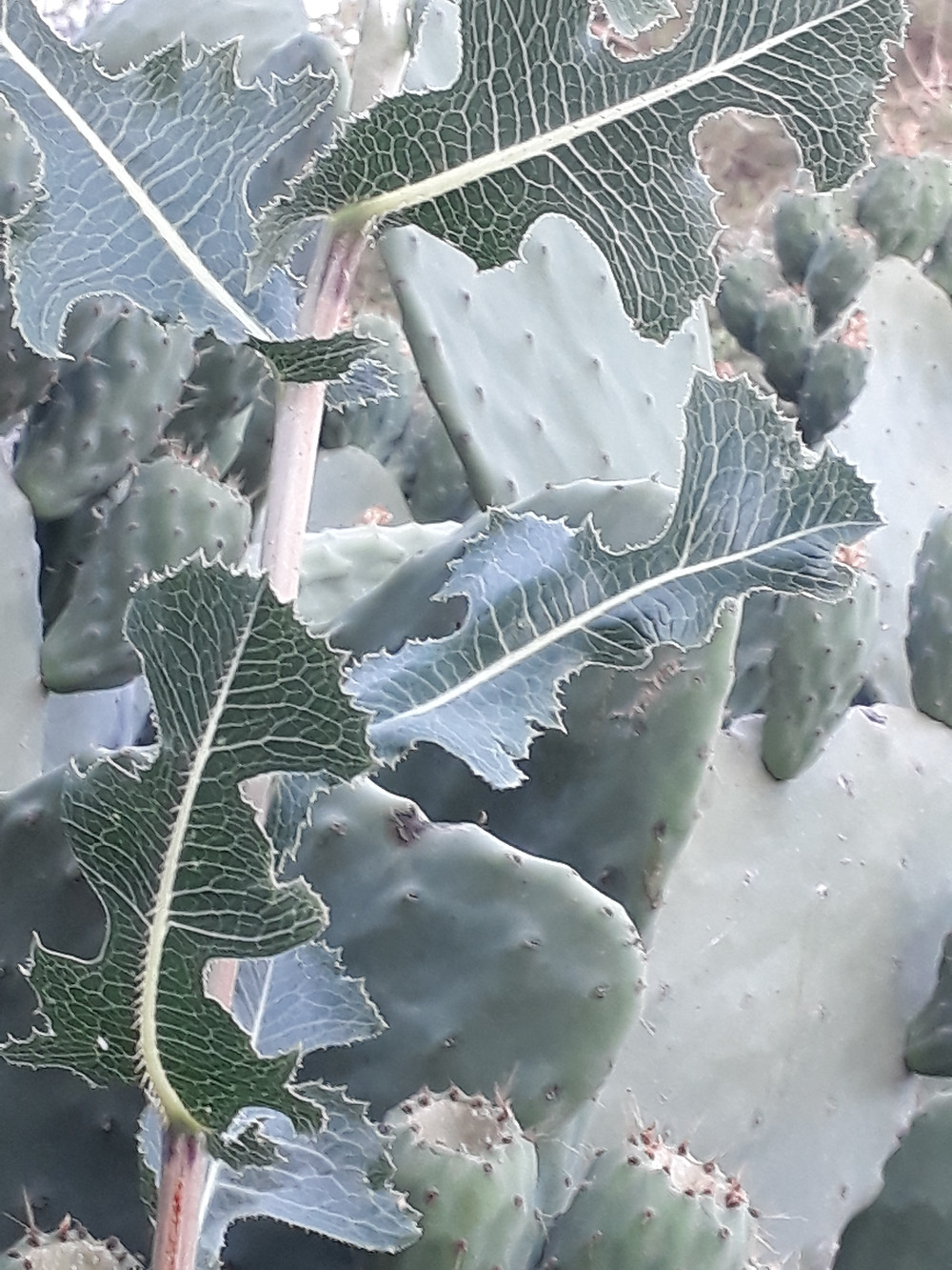 Green curly, spiny  thistle-type leaves with bright white veins. Background of green prickly pear pads and unripe green prickly pears with geometrically arrayed spines