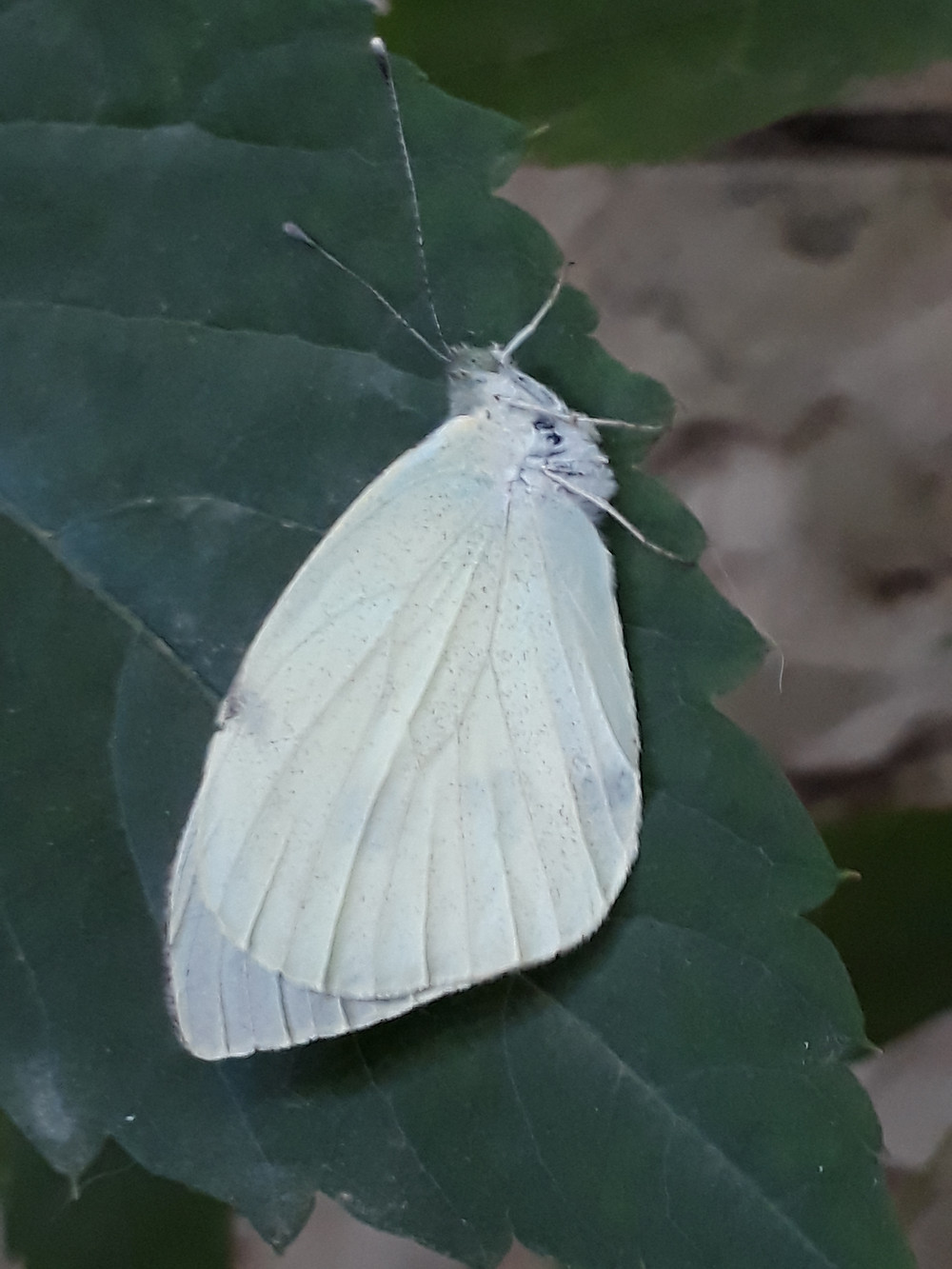 Large, pure white butterfly with small dark markings showing through its wings on a large Hydrangea leaf with a serrated leaf edge visible and buff coloured wall behind it