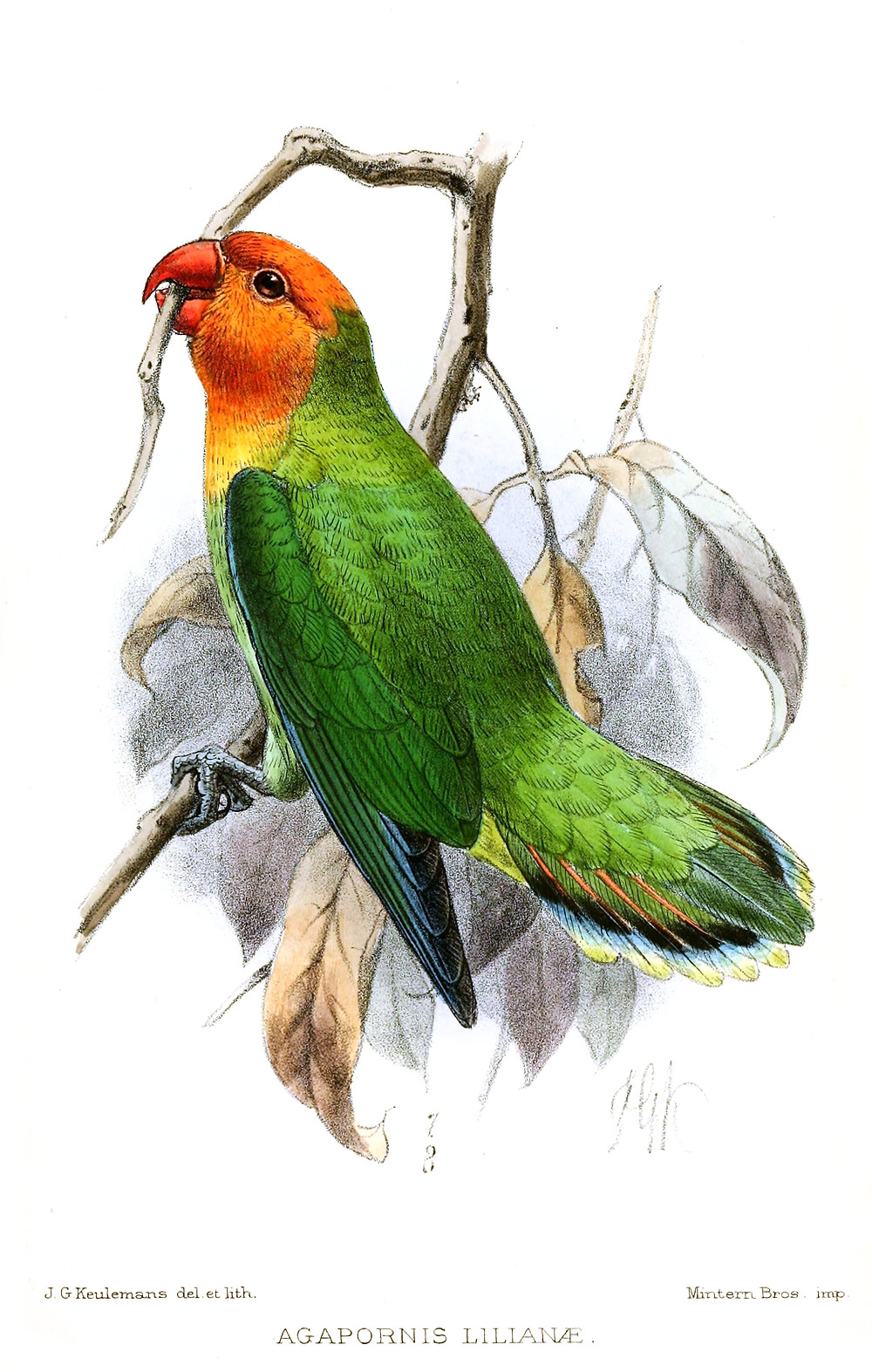 Stylized painting of Lilian's Lovebird standing on a branch and holding another branch with its beak. Picture shows the bird's green body, yellow throat and orangey-peach-coloured head and beak. Some leaves in background