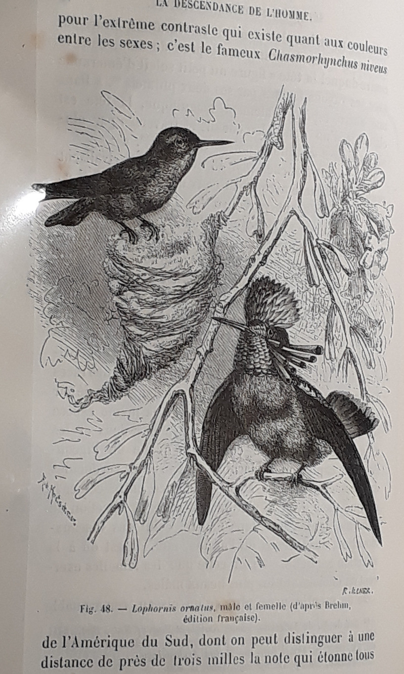 Black and white historic zoological plate showing female and male Tufted coquette birds on tree bwigs, male with prominent tufts