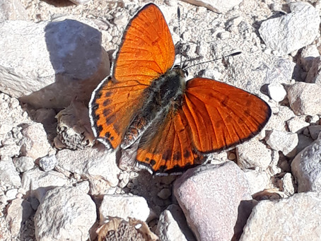 Butterflies of the Judaean Hills