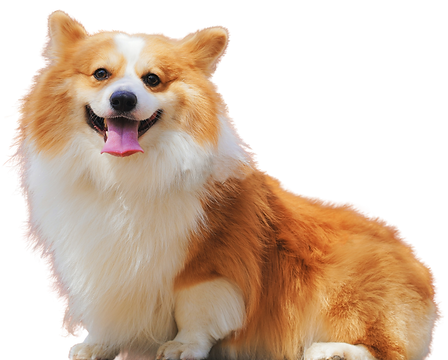 corgi transparent background-defringe.pn