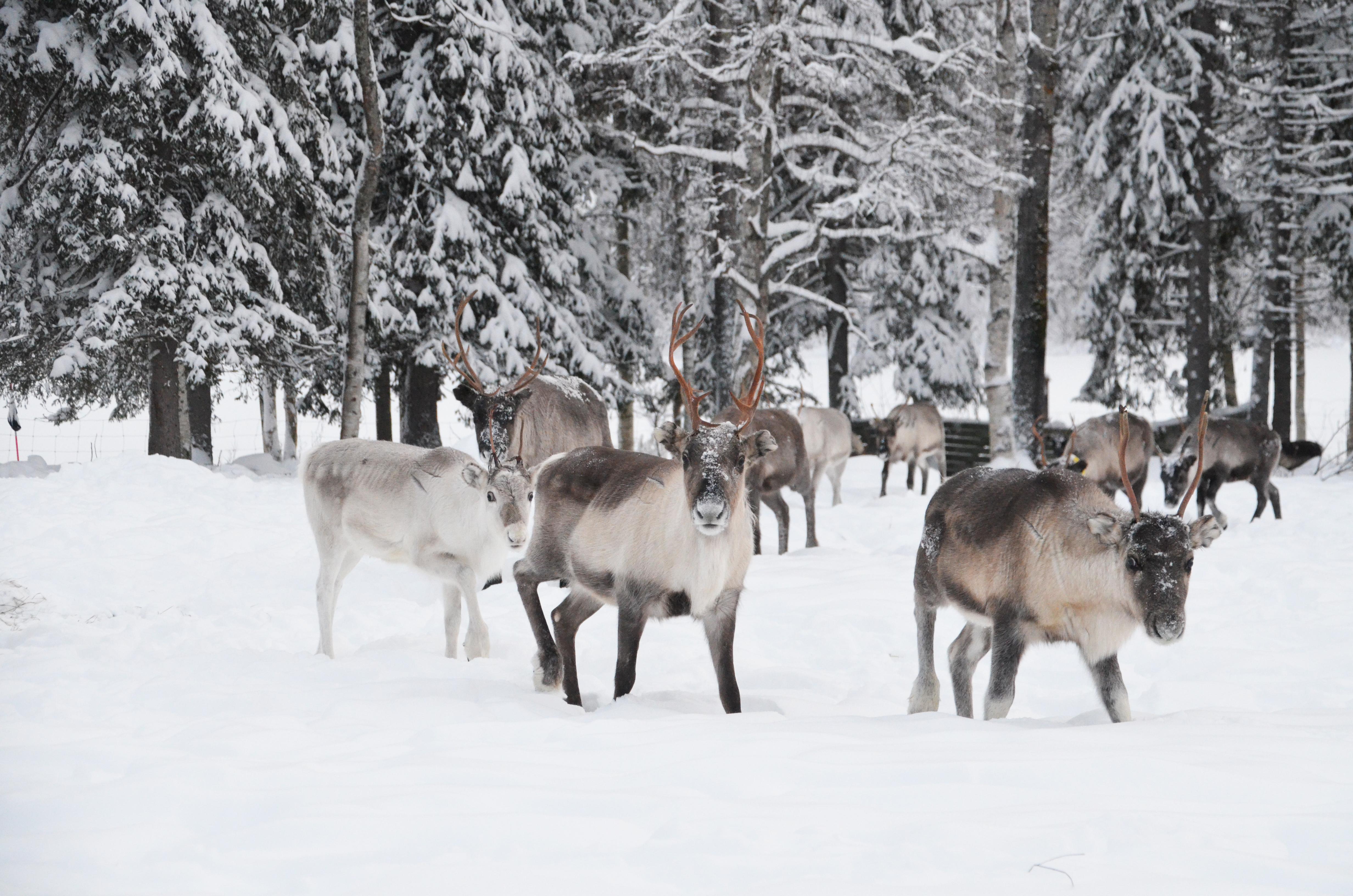reindeerherd9