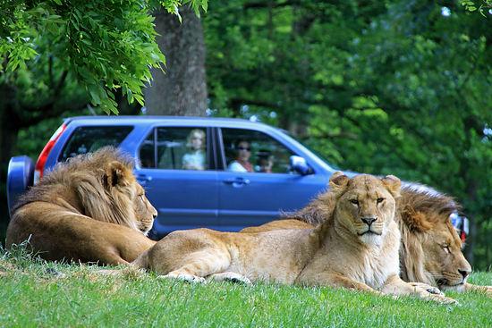 Lion Country at Longleat Safari Park.jpg
