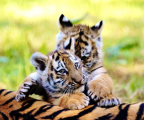 Close up of tiger cubs Rusty and Yuki at