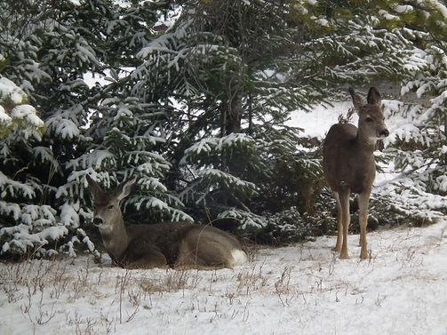 Deer in the Rockies DSCF3309.jpg