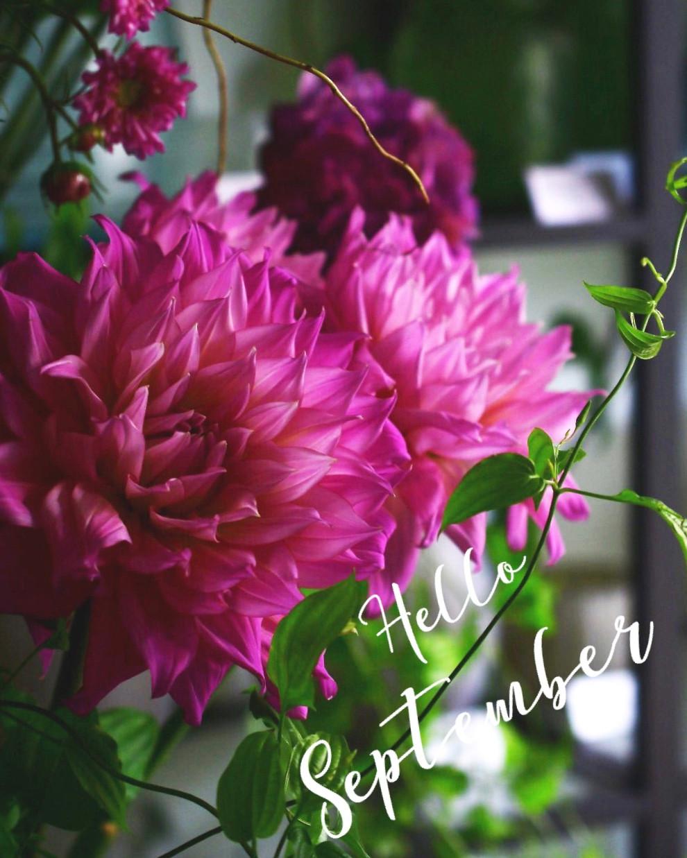 9月の菊。重陽の節句にちなんで
