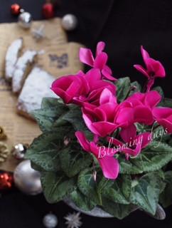 Flower styling シクラメン