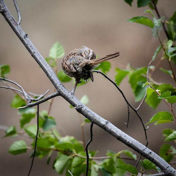 Song Sparrow-1.jpg