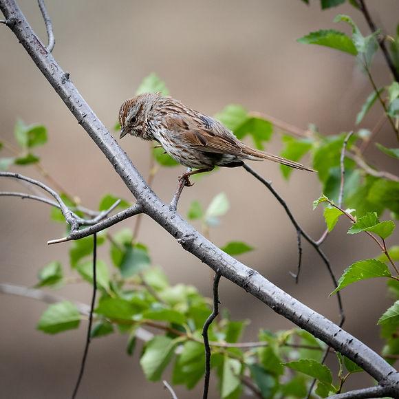 Song Sparrow-3.jpg