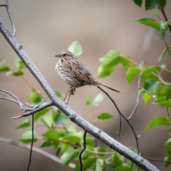 Song Sparrow-2.jpg