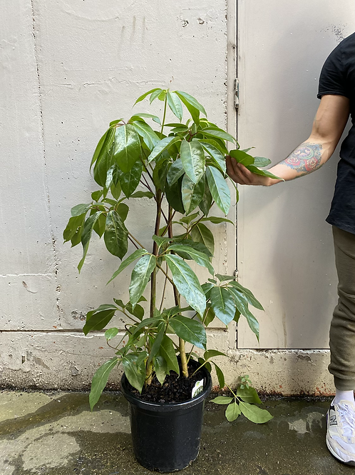 Umbrella Tree/Schefflera amate in 30cm pot
