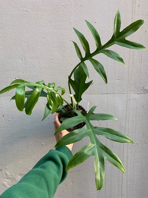 Philodendron 'Cinderella' in 13cm pot