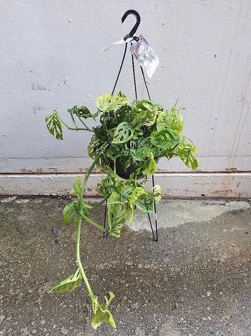 Monstera adansonii in 27cm hanging pot