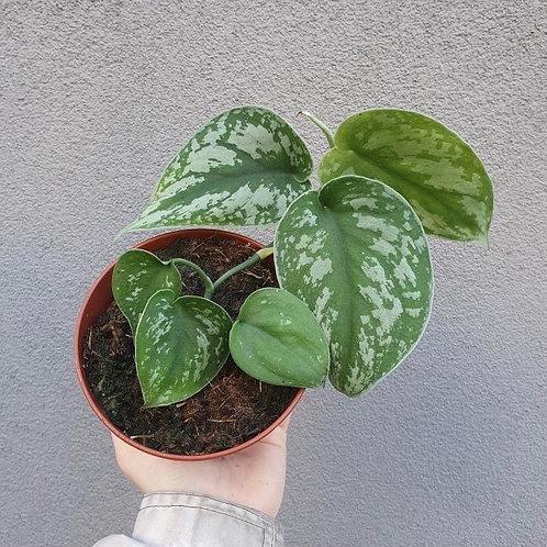 Satin Pothos/Scindapsus pictus in 12cm pot