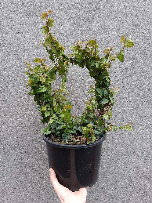 Creeping Fig/Ficus pumilia in 20cm pot with ring trellis