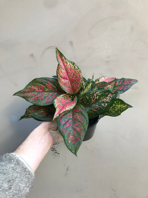 Aglaonema 'Red Valentine'/Chinese Evergreen in 20cm pot