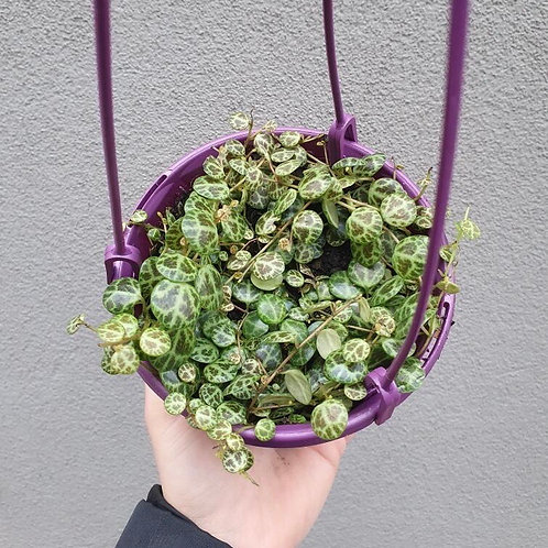 String of Turtles/Peperomia prostrata in 13cm hanging pot