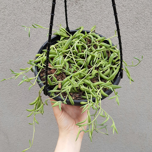 String of Bananas/Senecio radicans in 20cm hanging basket