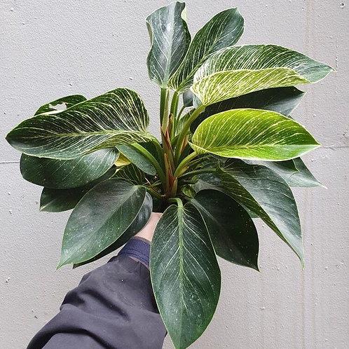 Philodendron 'Birkin' in 20cm pot