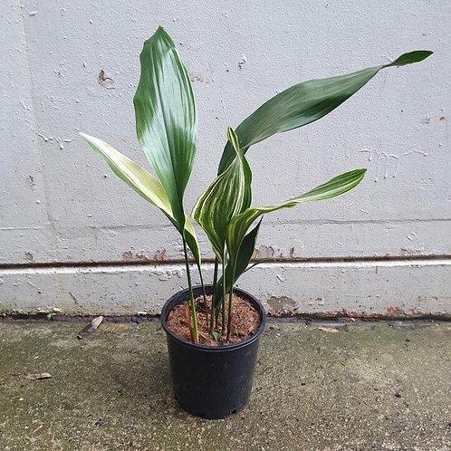 Cast Iron Plant/Aspidistra elatior in 20cm pot