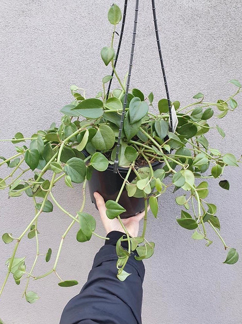 Peperomia scandens in 20cm hanging pot