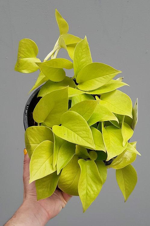 Neon Pothos/Empiprenum aureum in 20cm pot