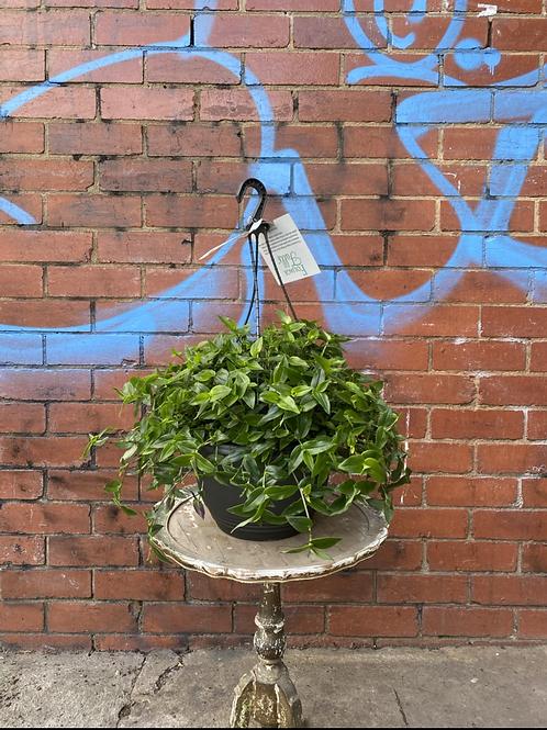Tahitian Bridal Veil/Tradescantia multiflora in 27cm hanging basket