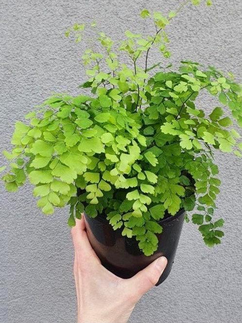 Maidenhair Fern/Adiantum fragrans in 14cm pot