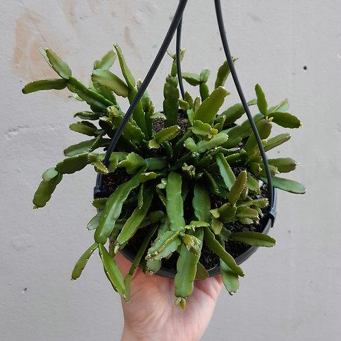 Rhipsalis micrantha in 15cm pot
