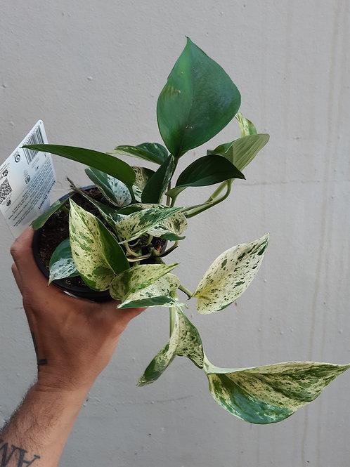 Epiprenum aureum 'Marble queen' in 12cm pot