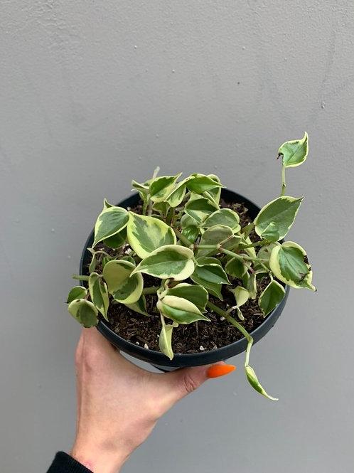 Peperomia scandens 'Variegata' in 16cm hanging pot