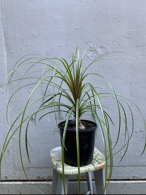 Ponytail Palm/Beaucarnea recurvata in 25cm pot