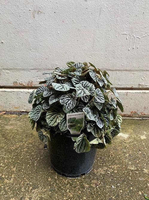 Peperomia Caperata in 20cm pot