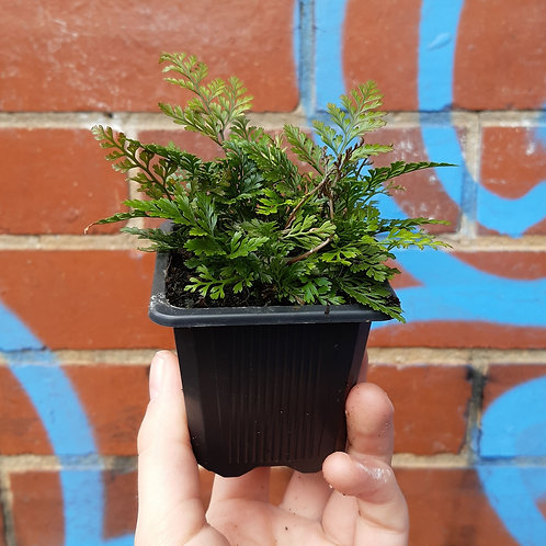 Hare's Foot Fern/Davallia canariensis in 75mm pot