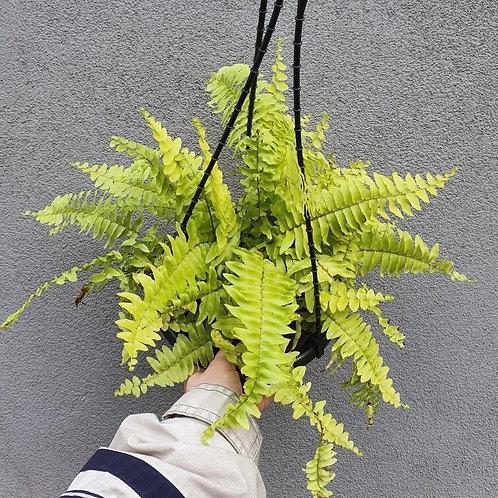 Variegated Tiger Fern/Nephrolepsis exaltata in 20cm hanging pot