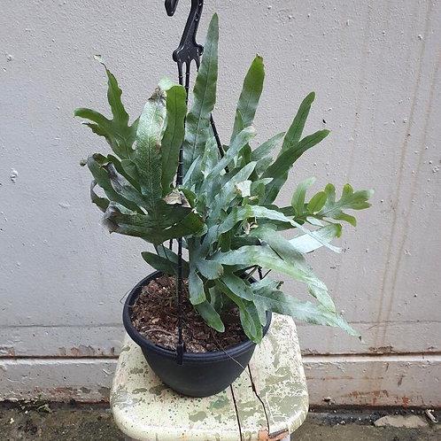 Blue Star Fern/Phlebodium aureum in 20cm pot