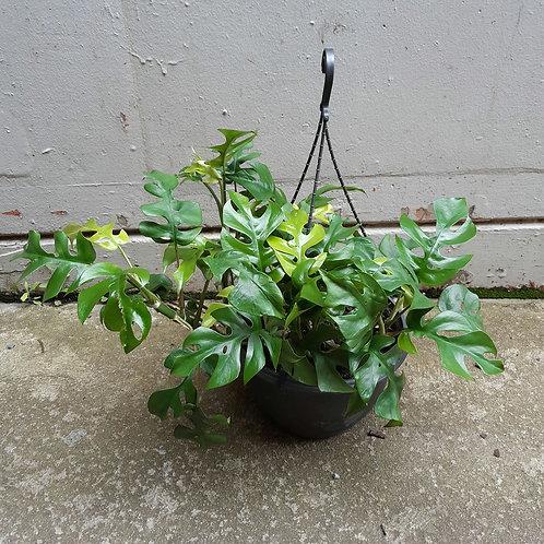 Rhaphidophora tetrasperma in 27cm hanging pot