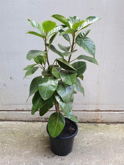 Ficus 'Lemon Lime' in 30cm pot