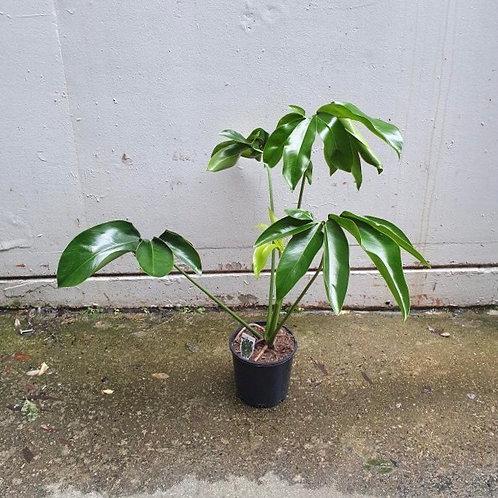 Thaumatophyllum spruceanum in 20cm pot