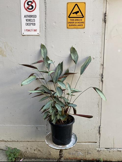 Prayer Plant/Ctenanthe setosa 'Grey Star' in 30cm pot