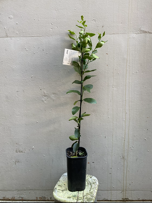 Tahitian Lime Tree/Citrus aurantifolia in 15cm square pot