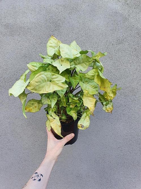 Syngonium 'White Butterfly' in 14cm pot