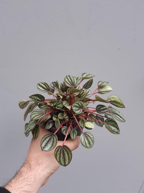 Peperomia albovottata 'Piccolo Banda' in 10cm pot