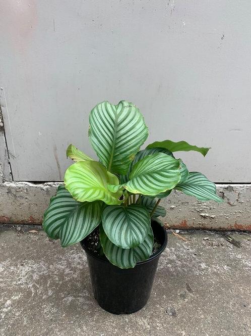 Calathea orbifolia in 25cm pot